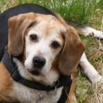 Beagle Anton